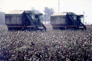 Cotton Harvesting Time in Kern County