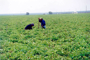 Agricultural Workers Tend to Row Crops